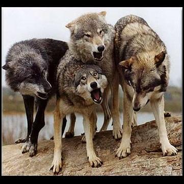 ماجرای فرار حیوانات وحشی از باغ وحش ارومیه | 4 گرگ، یک گربه وحشی، یک کرکس و دو قوچ ارمنی فرار کردند!