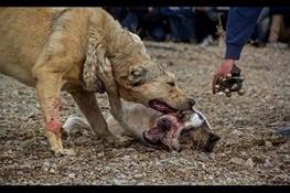 جنگ سگها، 30 بهمن/ گزارشی از یک تفریح غیرانسانی که خیلی رسمی در کرج برگزار می شود + تصاویر